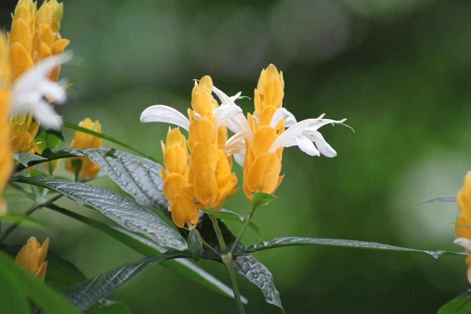 The Flowers of Golden Shrimp Plant (Pachystachys lutea)