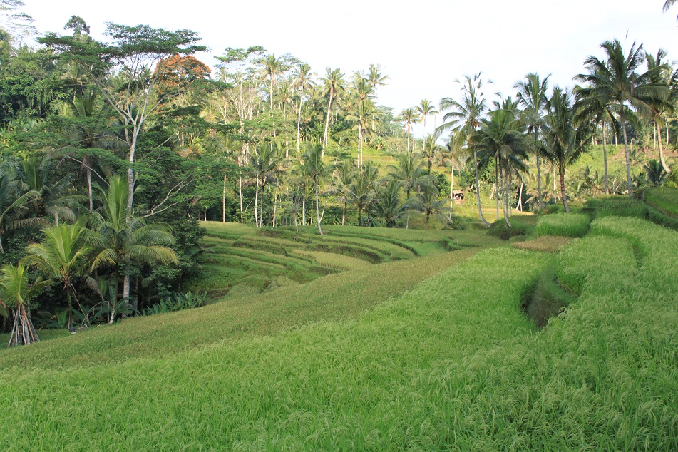 The Rice Terraces in Tampaksiring