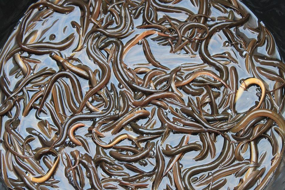 Slimy Eels