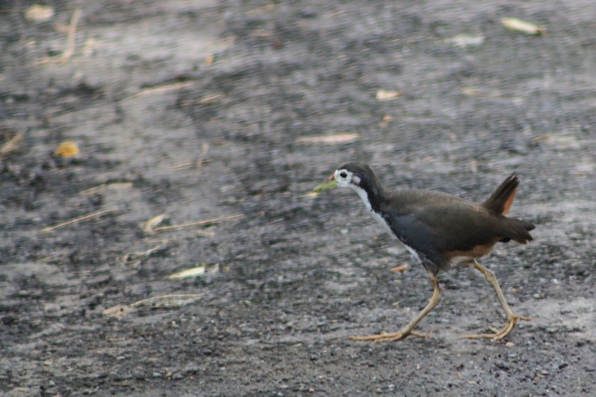 A White-breasted Waterhen (Amaurornis phoenicurus)