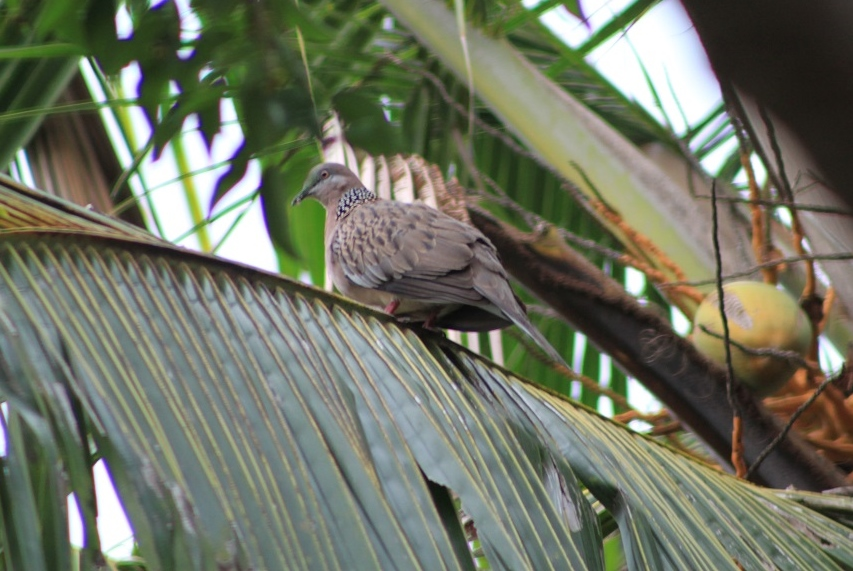 A Spotted Dove (Spilopelia chinensis)