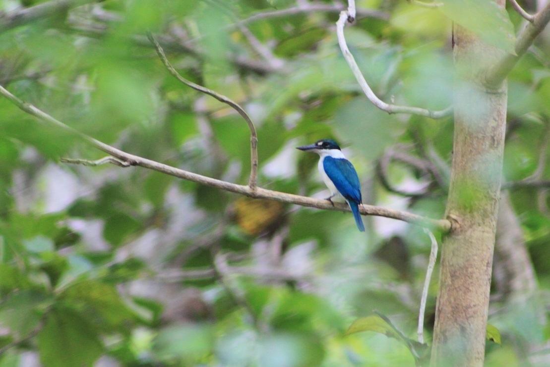 A Cerulean Kingfisher (Alcedo coerulescens)
