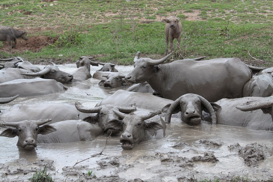 Spa Treatment, Water Buffalo Style