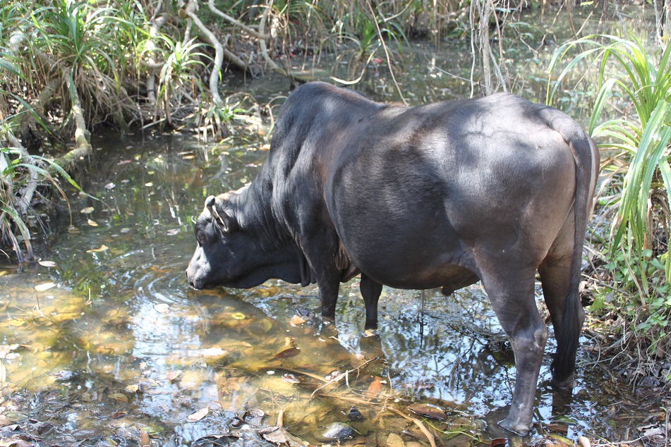A Wild Buffalo