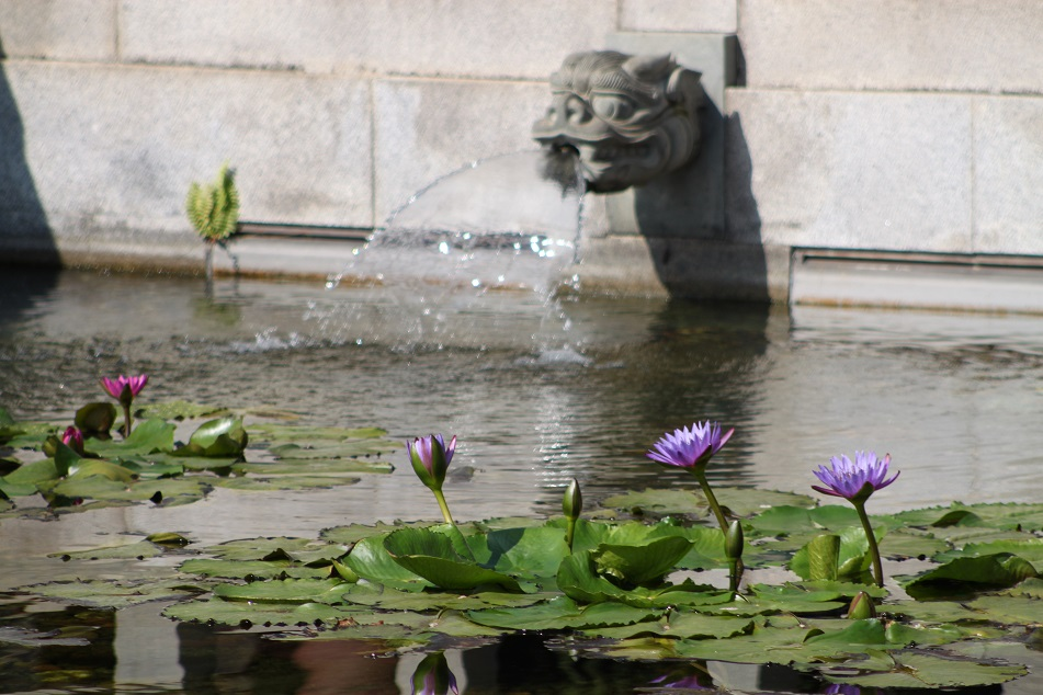 Blooming Water Lilies