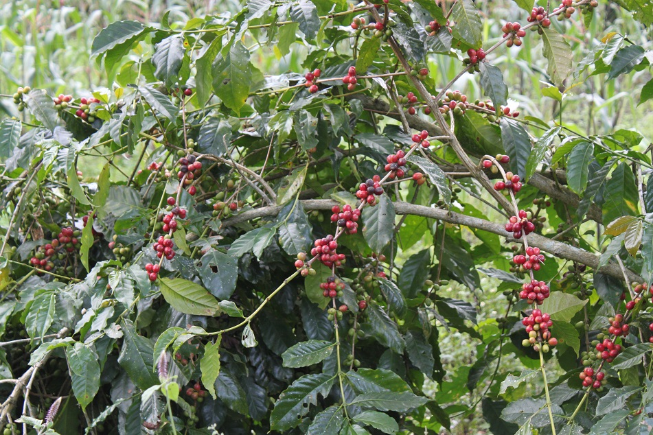 Florenese Coffee