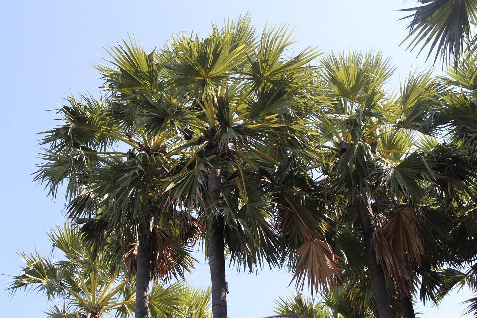 Lontar (Sugar Palm) Tree, from Which Comes Tuak, An Alcoholic Drink Essential for Florenese