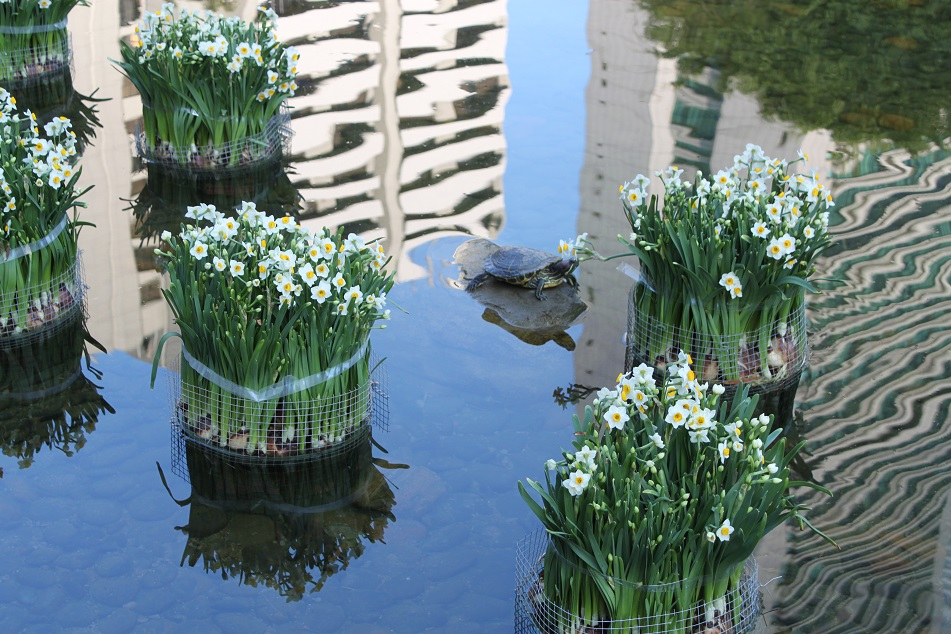 Narcissus Blooms and Turtles in An Urban Park