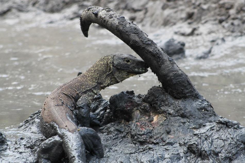 A Young Komodo Dragon Devouring A Buffalo's Carcass