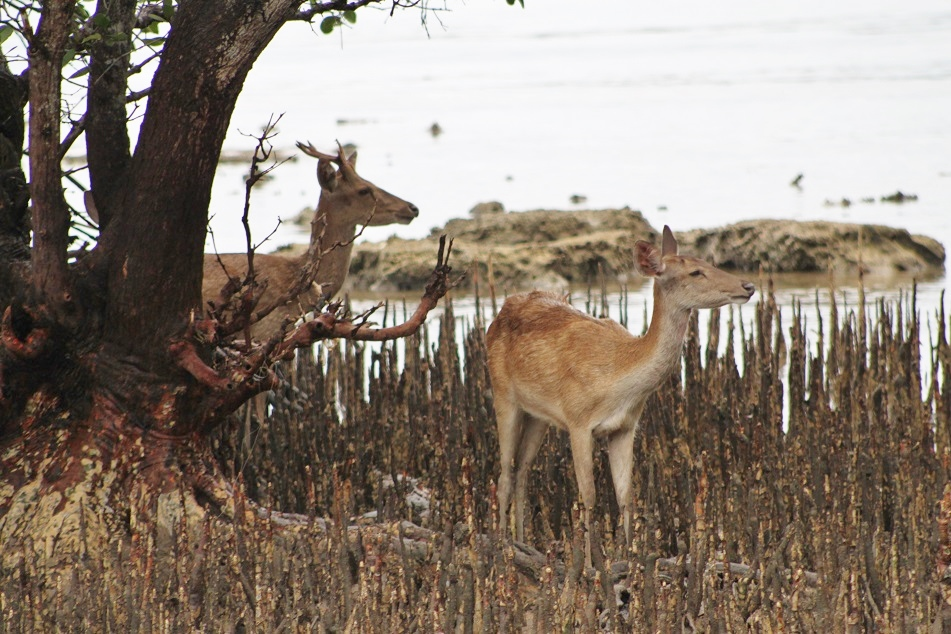 Deer Roaming around the Mangroves