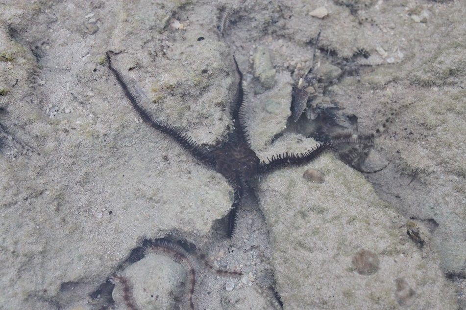 Brittle Star, Abundant at The Menjangan's Main Beach
