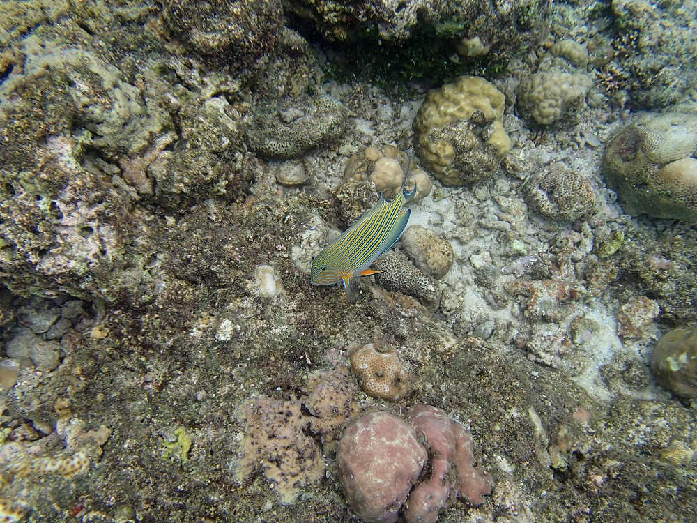 Striped Surgeonfish