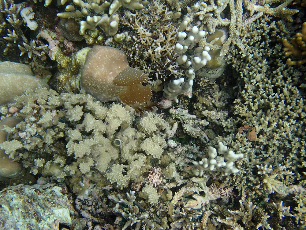 A Camouflaged Brown Spotted Jellyfish
