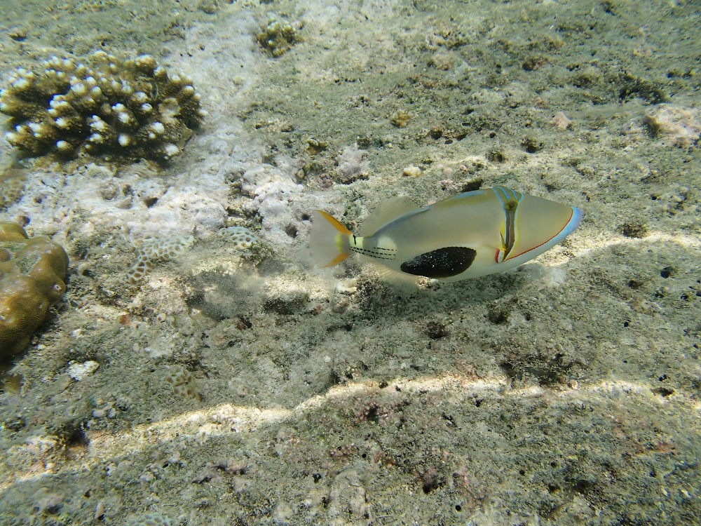 Blackbelly Triggerfish