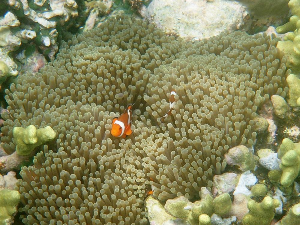 Nemo (Clownfish)