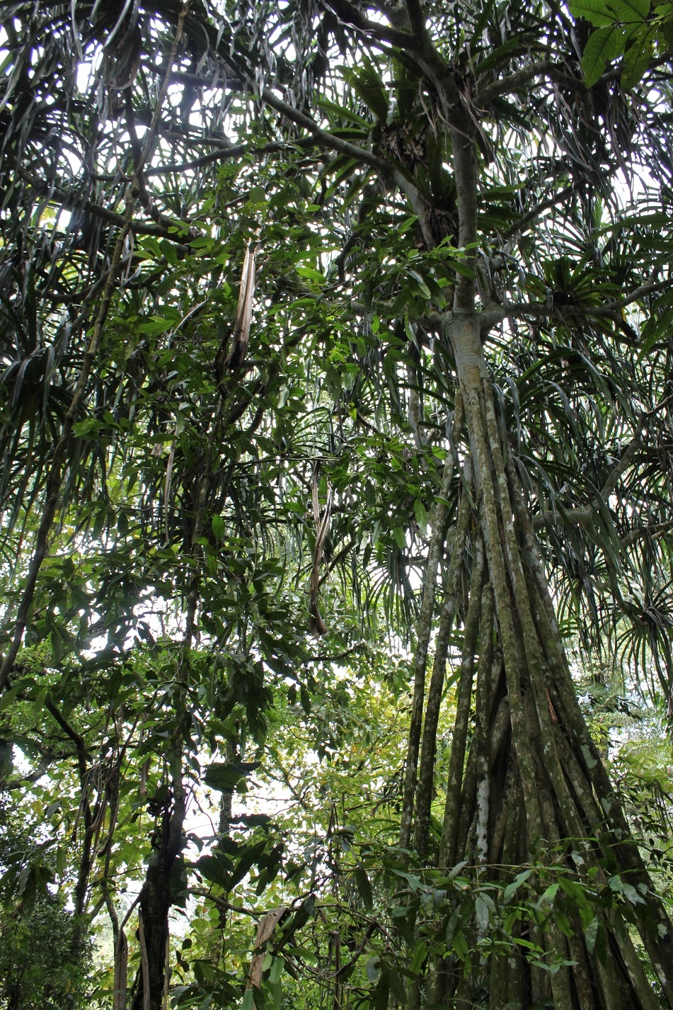 Giant Pandanus Trees Soar High above the Forest Floor