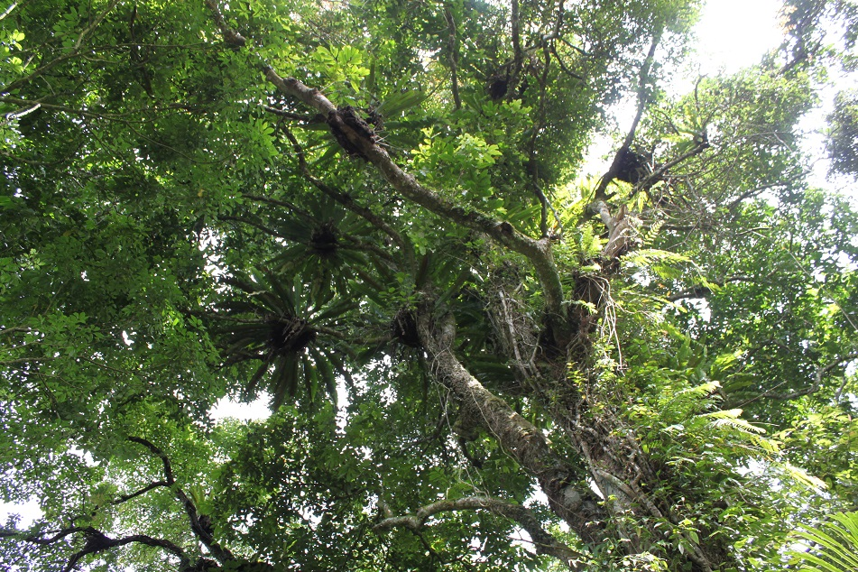 Bird's-Nest Ferns Up on the Forest Canopy