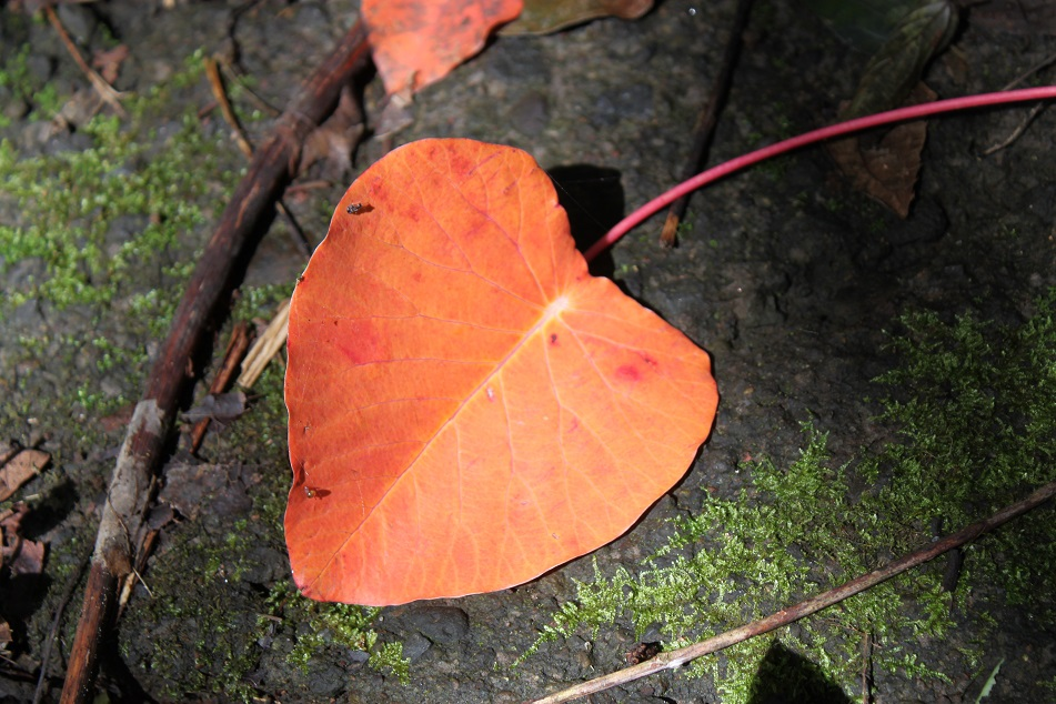 Heart-Shaped Leaves All over the Forest Floor