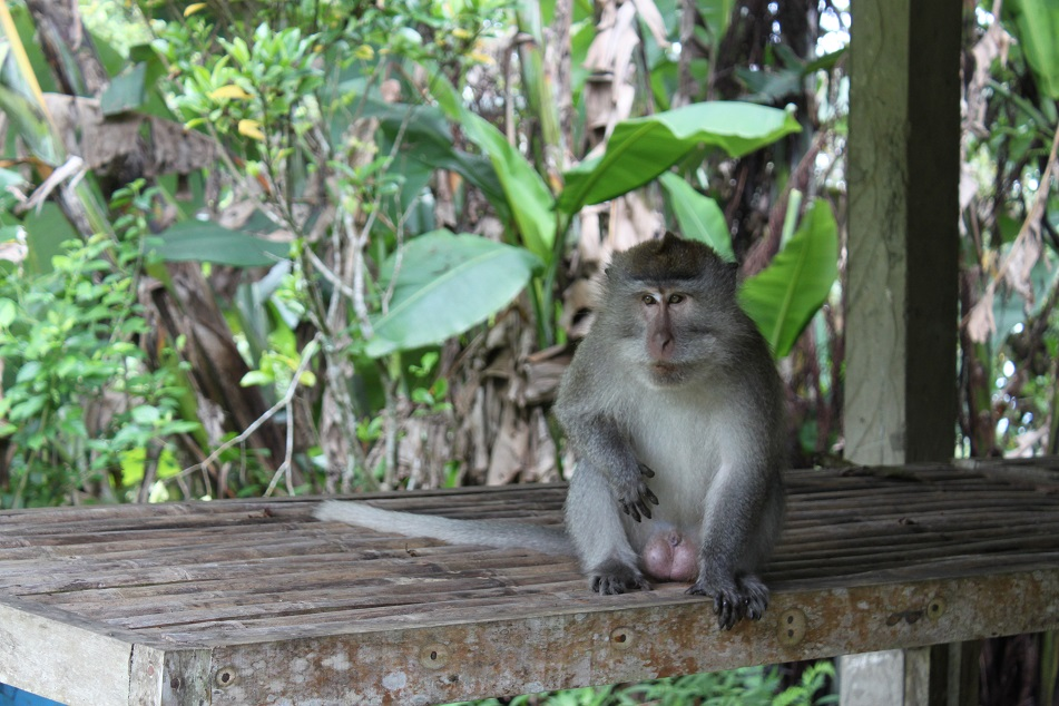 An Inquisitive Macaque