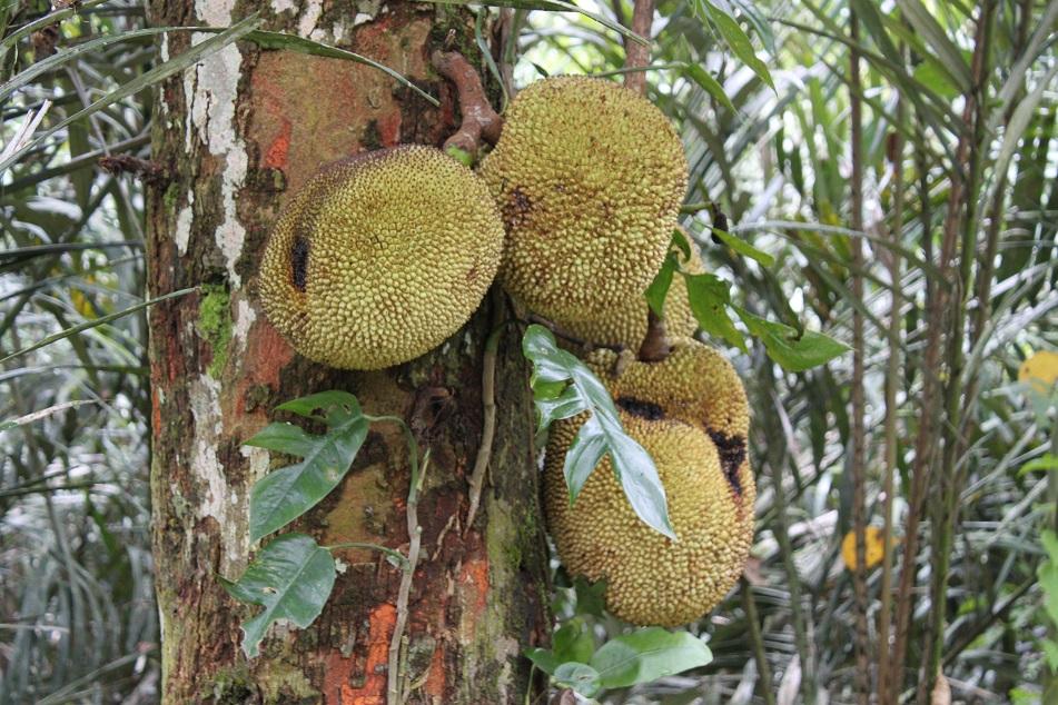 Ripening Jackfruits