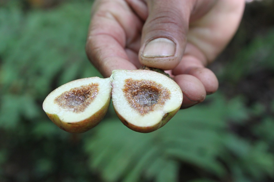 Inedible Forest Fig