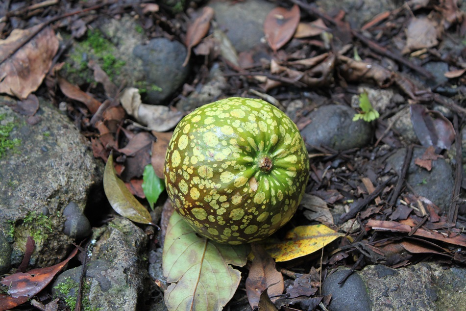 Another Inedible Fruit from the Forest