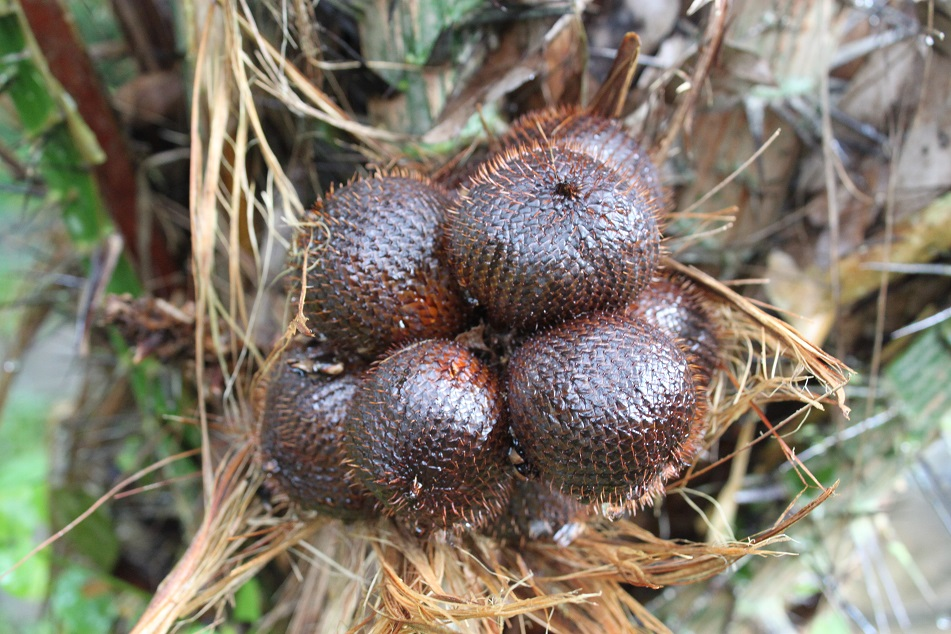 Salak, Native to Java and Sumatra