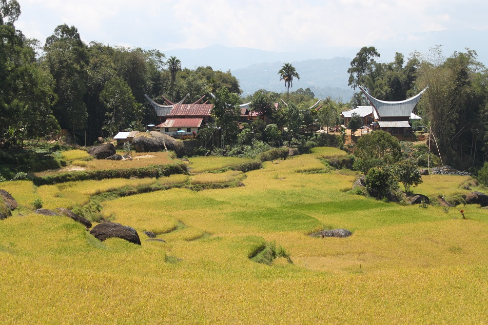 Tongkonans amid Rice Terraces
