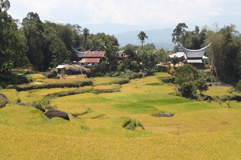 Tongkonans amid Rice Terraces