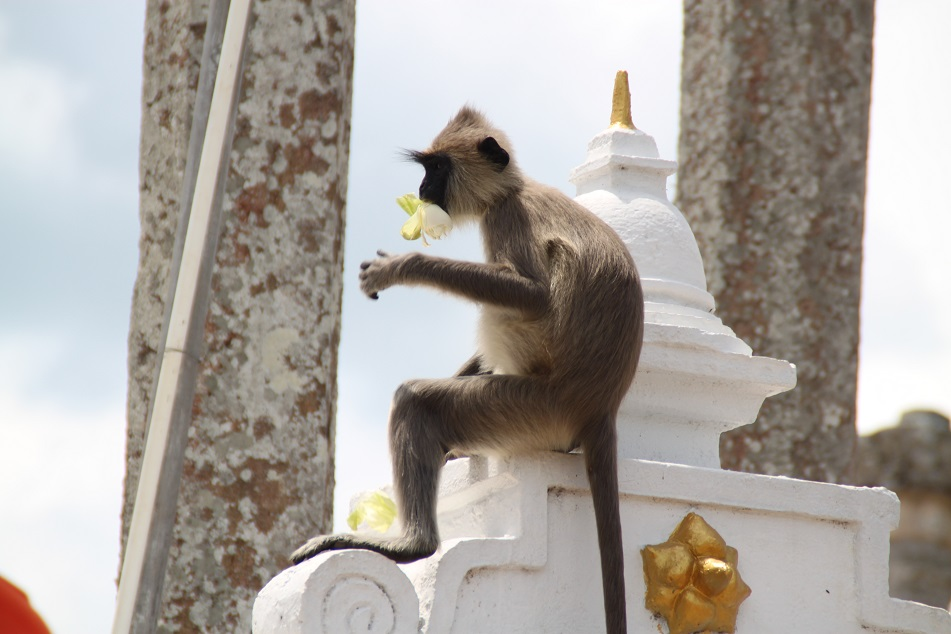 A Gray Langur Snacking on Floral Offerings