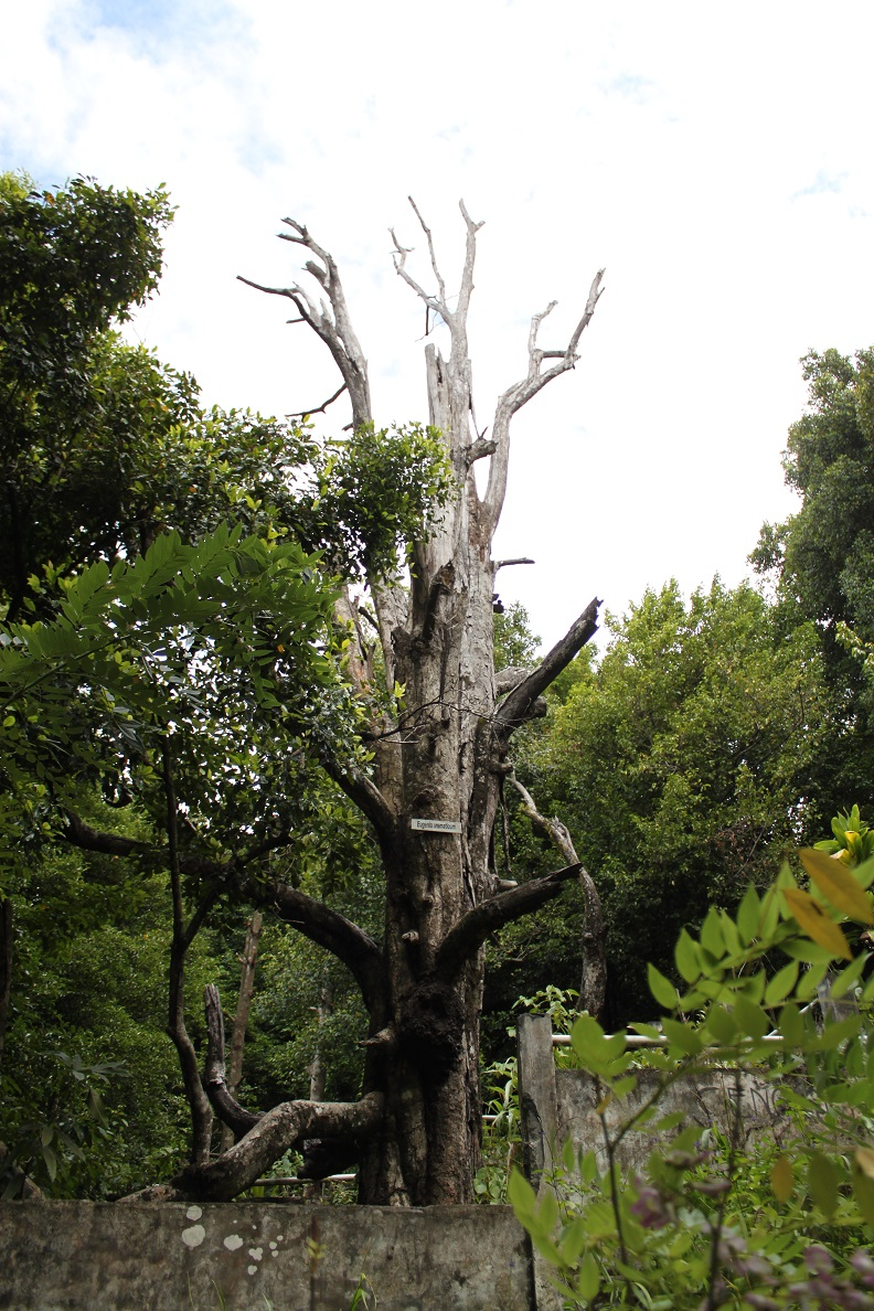 Afo 2, the Second Oldest Clove Tree Recorded in History