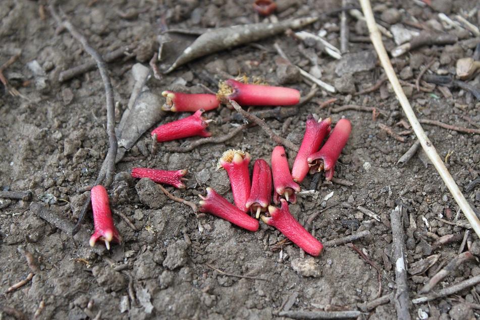 Unpicked Ripe Clove Buds