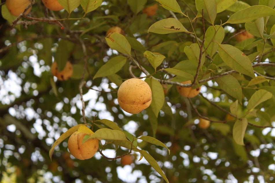 Unripe Nutmeg