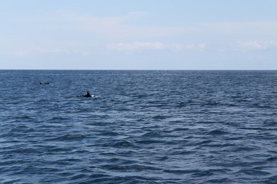 Dolphins Near Ai