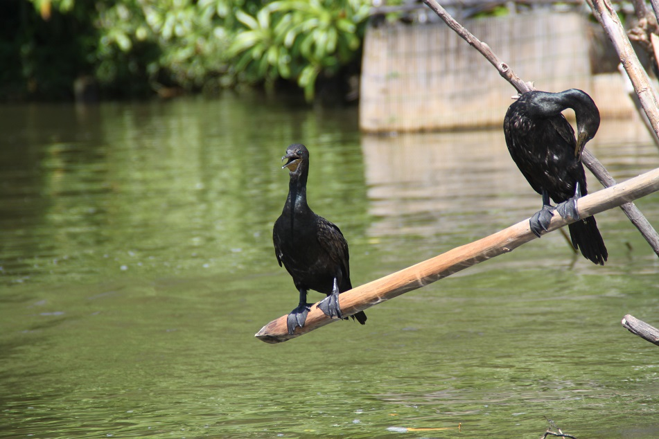 Cormorants Resting on A Bamboo Pole