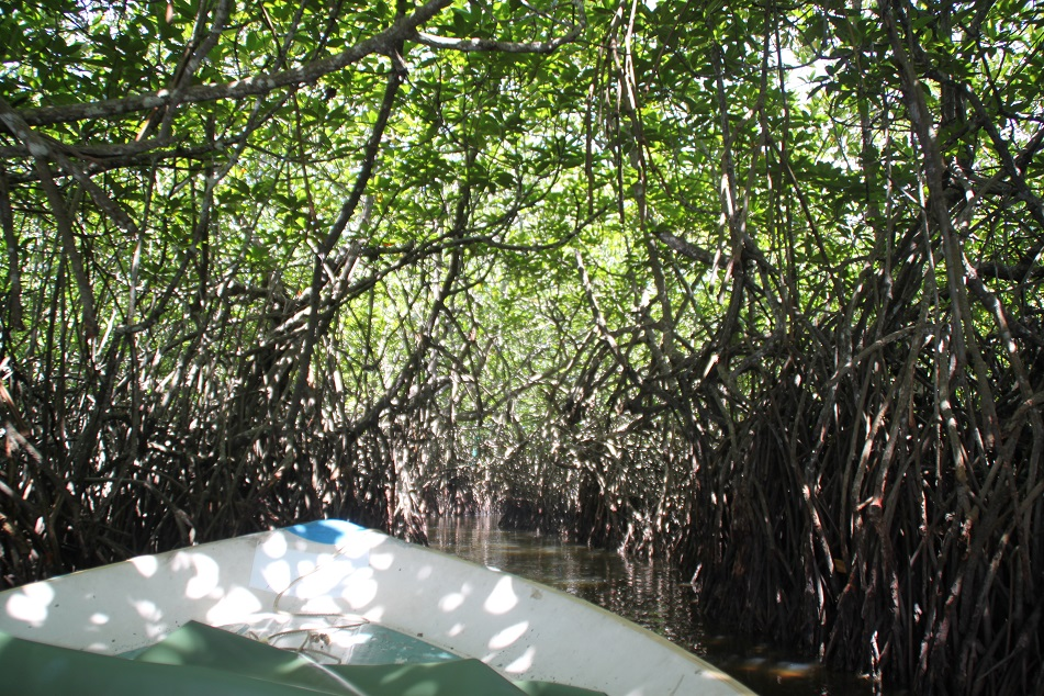 Entering Dense Mangrove Forest...