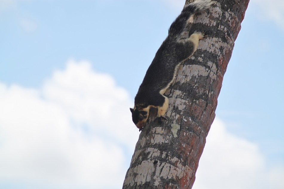 A Giant Indian Squirrel